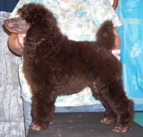POODLE COAT COLORS: BROWN & CAFE AU LAIT