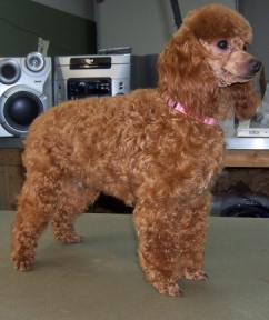 Poodle Coat Colors Red Apricot Amp Cream